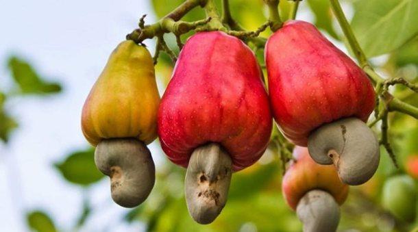 Εσείς γνωρίζατε πώς φυτρώνουν τα κάσιους;